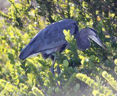 Great Blue Heron, The Everglades National Park (Homestead, Florida)