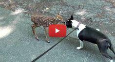 Wild Baby Deer meet a Boston Terrier dog!