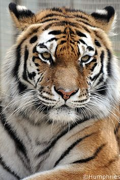 Siberian (Amur) Tiger by --CWH