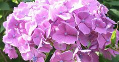 Growing hydrangeas is simple, if you know the basics. Here you will find everything you need to know on how to grow hydrangeas, including soil, light & water requirements, hydrangea propagation and also, how to change their color. Everything you need to know in one simple guide plus, lots of beautiful photos.