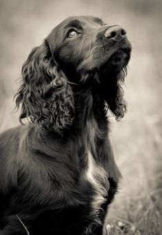 Working cocker spaniel awaiting instruction.