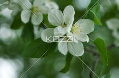 white apple blossoms. - Detail shot of white apple blossoms against a green background in the spring.
