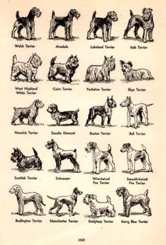 1949 Breeds of Terrier Dogs illustration by catchingcanaries