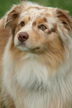 Things I admire about the Australian Shepherd Puppies Aussie Puppies, Cute Dogs And Puppies, Pet Dogs, Dog Cat, Doggies, Australian Shepherd Husky, Mini Australian Shepherds, West Highland Terrier, Miniature American Shepherd