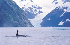 Transient killer whale in the waters of Alaska | Photo: Lance Barrett-Lennard and Kathy Heise
