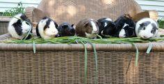 My seven male guinea pigs eating their dinner http://ift.tt/2raYBZd