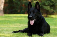 Black German Shepherd Puppy New Desktop Wallpapers Free Download Dog Pictures