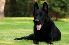 10 Facts About German Shepherd Dog You Need to Know ...