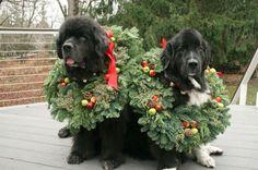 Merry Newfie Christmas