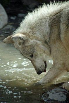 The Wolf. Playful and fierce. My spirit animal Animals And Pets, Funny Animals, Cute Animals, Wolf Spirit, My Spirit Animal, Wolf Pictures, Animal Pictures, Beautiful Creatures, Animals Beautiful