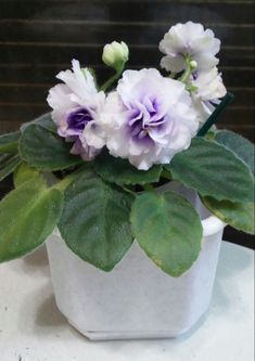 100 pcs/bag african violet seeds, bonsai flower seeds, garden flowers violet seeds perennial herb plant pot for home garden Exotic Flowers, Purple Flowers, Beautiful Flowers, Orchid Plants, Orchids, Flower Seeds, Flower Pots, Saintpaulia, Sweet Violets