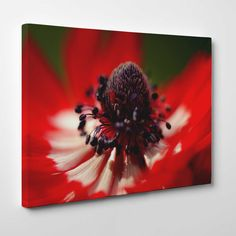 Canvasprints.io | Red Anemone Coronaria - #canvasprintsio - Low cost, high quality canvas prints made in London UK from just £13.99. You're sure to find inspiration in our collection. Ask about our photo to canvas option too, it's super simple. Canvas prints on wall / flower and floral canvas art