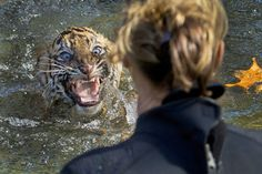 A three-month-old Sumatran tiger cub named Bandar reacts after being dunked in the tiger exhibit moat for a swimming test at the National Zoo in Washington, D.C. All cubs born at the zoo must take a swim test before being allowed to roam in the exhibit. Bandar passed his test. Uploaded by beet111 on reddit.