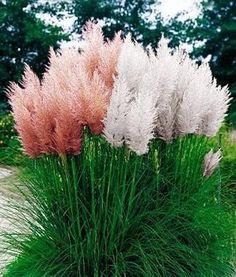 Trawy ozdobne. Trawa pampasowa biała