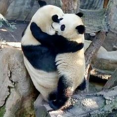 "Its a Giant Samurai Panda Hug! Mommy Bai Yun and Lil' Wu (""Cubby""), photo by Alana Silvea Pandas Baby, Baby Panda Bears, Cute Baby Animals, Animals And Pets, Funny Animals, Wild Animals, Panda Hug, Panda Love, Cute Panda"
