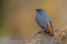 Its really a nice experience to have several pairs of plumbeous redstarts visit us again this winterI happened to spend half an hour watching this beautiful little bird this weekend