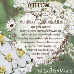 Did you know? Yarrow's stems, leave and flowers are high in oils that not only help reduce bleeding, but also help fight bacteria and fungal growth. Its anti-inflammatory properties make it useful for inflamed, swollen tissues and for wound repair.