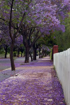 Jacaranda street carpet in Adelaide, Australia (by Gadget Man). Although no a native these trees put on one of the best street shows of purple flowers in Adelaide. They can be found in a number of locations and gardens in Sout Australia. Wonderful Places, Beautiful Places, Beautiful Things, Adelaide South Australia, Adelaide Sa, Melbourne Australia, Brisbane, Road Trip, Australia Travel