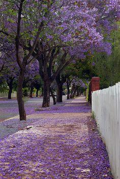 Jacaranda street carpet in Adelaide, Australia (by Gadget Man).