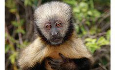 Macaco-prego-do-peito-amarelo (Cebus apella xanthosternos), mamífero: vive na Mata Atlântica.