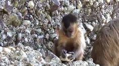 """""""O Grito do Bicho"""": Macacos usam ferramentas de pedra no Piauí"""