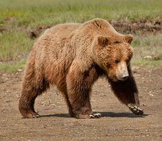 Bears in Alaska - Sasquatch Alaska