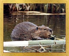 Light up your place with this wonderful beaver art print framed poster. This framed poster captures the image of beaver swims into a lake which is sure to make this framed art a focal point of your home and grab lot of attention. It will be a great addition for any home decor. Its wooden golden frame accentuates the poster mild tone. The frame is made from solid wood measuring 18x22 inches with a smooth gesso finish. This framed poster includes a wire hanger on the back for easy display.