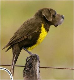 Brown & yellow bird dog