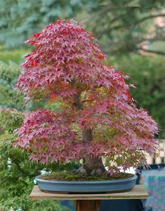 Bonsai - Japanese Maple is MY favorite tree (then Weeping Willow!) and it is so pretty as s bonsai!  LMS
