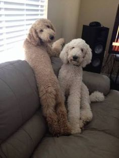 「standard goldendoodle haircuts」の画像検索結果