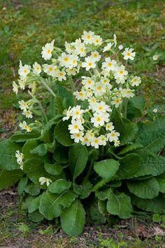 Family Primulaceae; Genus Primula; Species vulgaris; Primrose