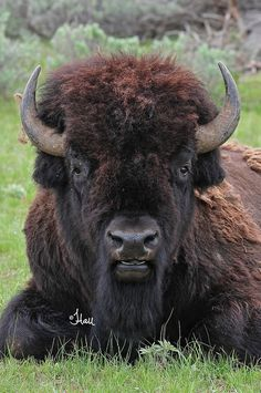 Bull Bison - 8203b+ | Flickr - Photo Sharing!