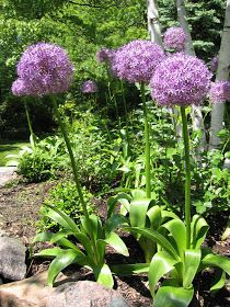 More alliums, all in bloom at this time, thanks to a contributor who gardens on the northwest side of Ann Arbor. All comments are hers excep...
