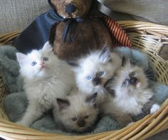 Next cat we get will be a rag doll kitten. Adorable <3