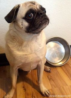 Typical pug expression when the food bowl is empty. Learn more about how to help a pug feel full with pumpkin!