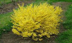 Okrasný strom nebo keř z čeledi bobovitých. Štědřenec odvislý