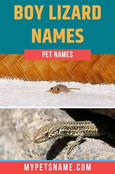 Although male lizards are known to be more demonstrative and aggressive in comparison to their female lovers, as pets, they still maintain a friendly and fun nature. Read on, as somewhere in our list lies the perfect boy lizard name for your ectothermic friend.  #lizardnames #boylizardnames #boypetnames Male Pet Names, Reptiles Names, Lizard Names, Pet Lizards, Perfect Boy, Cool Names, Cute Boys, Lovers, Female
