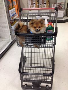 Fotografija Funny Cats And Dogs Pinterest Pomeranians Dog - Someone should have told this dog owner that pomeranians melt in water