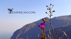 We love the unusual plants and colourful flowers on Mulanje Mountain in Malawi.