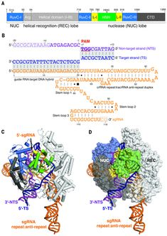 Structures of a CRISPR-Cas9 R-loop complex primed for DNA cleavage   Science