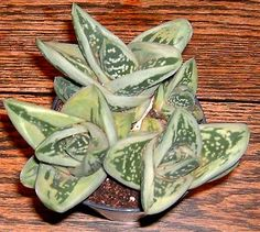 Green Ice Gasteraloe.  Found this today - watch your favorite big box store nursery for this wonderful gem.  Aloe-Gasteria hybrid.