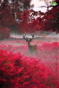 Deer in red field of flowers.