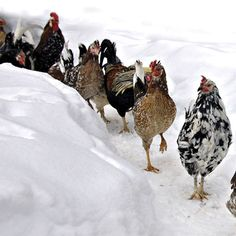 Icelandic Chickens: A Heritage Chicken Breed for Modern Homesteads Try Icelandic chickens, a colorful, self-reliant heritage chicken breed, to enjoy flavorful meat and excellent egg production.  -- Mother Earth News