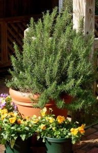 Learn to grow rosemary anywhere you live.