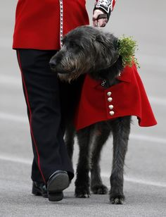 The Regimental mascot, an Irish wolfhound called Domhnall, is marched across the parade ground after Britain's Catherine, Duchess of Cambridge, presented a sprig of clover to the dog while visiting the Irish Guards during a St Patrick's Day parade in Mons Barracks in Aldershot on March 17, 2014.