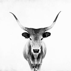 Animals Black And White, Black And White Canvas, Black White, White Framed Art, White Art, Amazing Animals, Cow Painting, Cow Art, Art Original