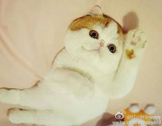 Snoopy the Cat, New Internet Sensation Cute Little Kittens, Cats And Kittens, Cute Cats, Fierce Animals, Cute Animals, Snoopy Cat, Exotic Cats, Exotic Shorthair, All About Cats