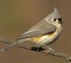 I saw this bird earlier this year. Although mine was a lot skinnier! Found via this site that it is a tufted titmouse. Good, informative site re: birds.