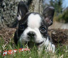Happy little Boston Terrier puppy
