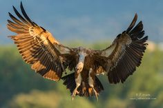 Griffon Vulture by J. Uriarte on 500px